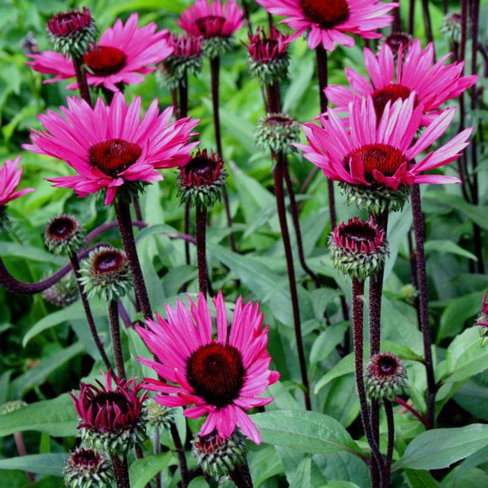 vlinderhof echinacea purpurea fatal attraction